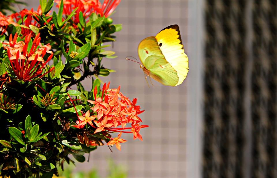 Brimstone, Butterfly, Fly, Land, Wings, Flight, Landing