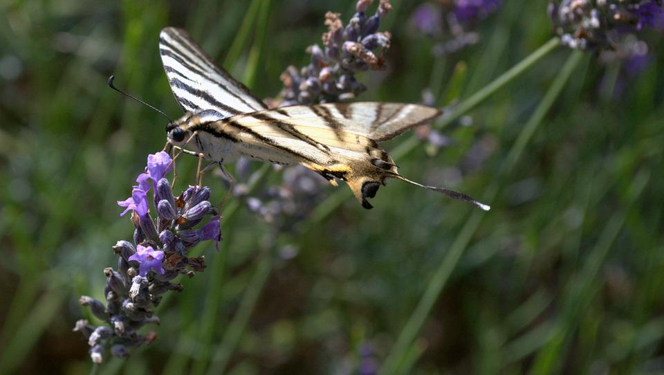 Butterfly, Lavender, Insects, Flowers, Garden