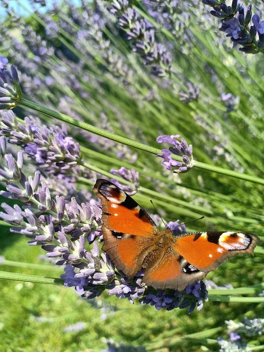 Peacock, Butterfly, Orange, Garden, Lavender, Nature