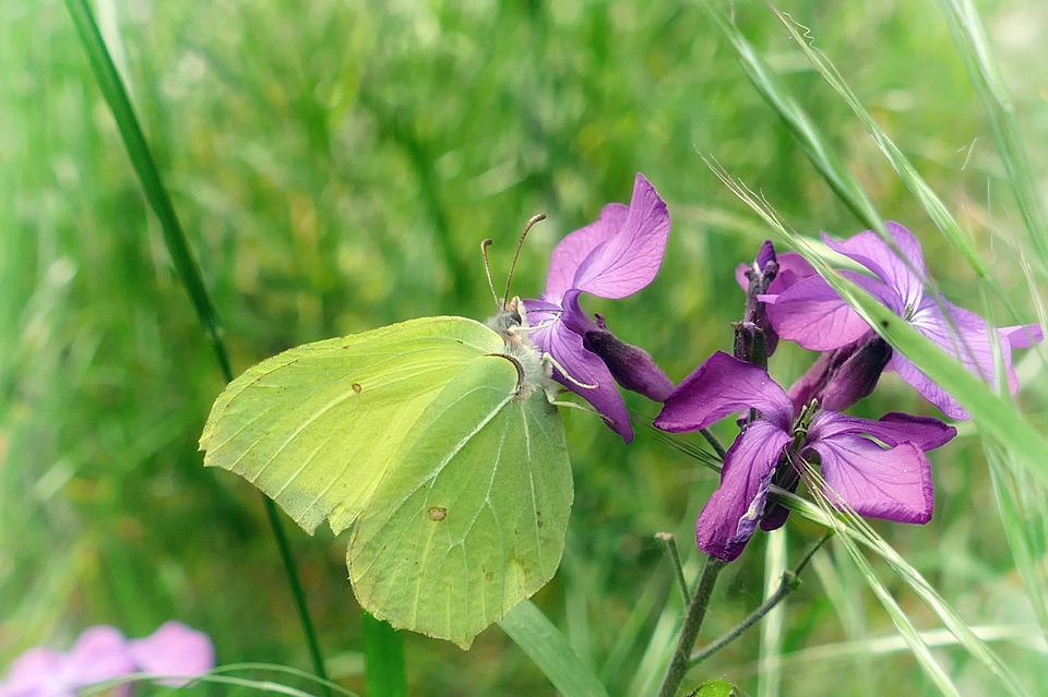 Butterfly, Gonepteryx Rhamni, Purple Flower, Nature