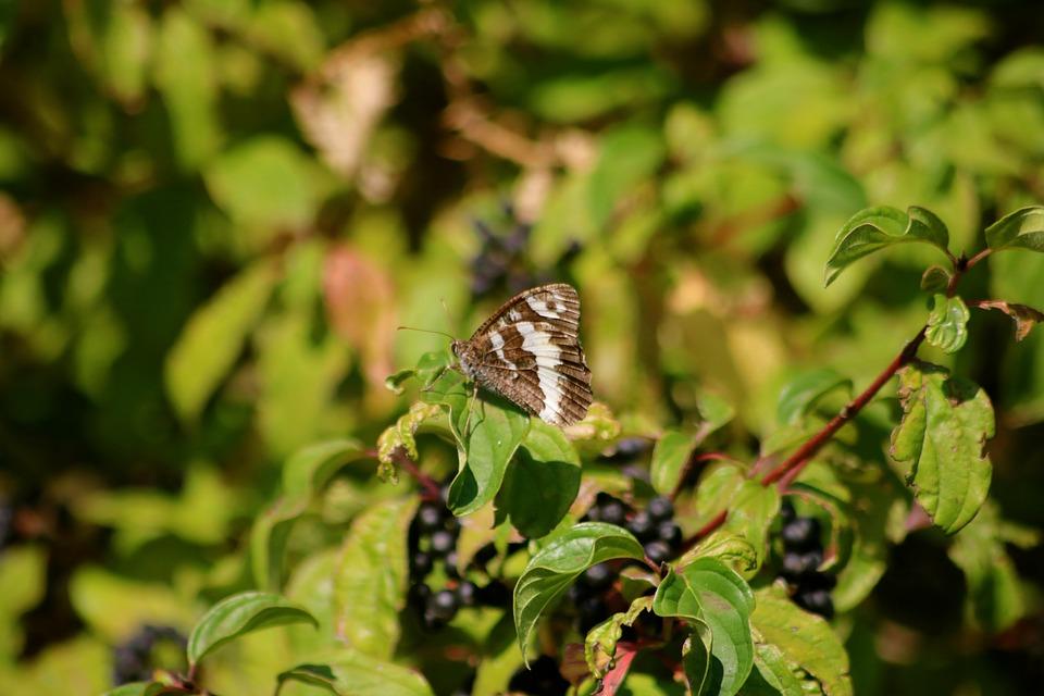 Butterfly, Great Branded Grayling Butterfly