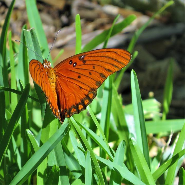 Butterfly, Orange, Black, Rust, Green Grass