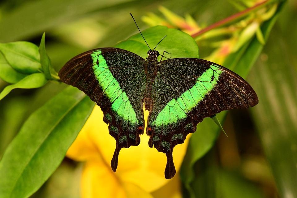 Emerald Swallowtail, Butterfly, Insect, Green, Peacock