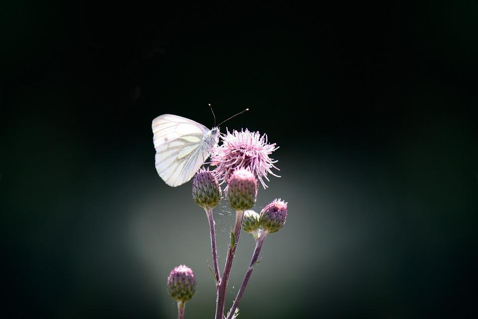Butterfly, Green Vein, White Ling, Pieris Napi, Flower