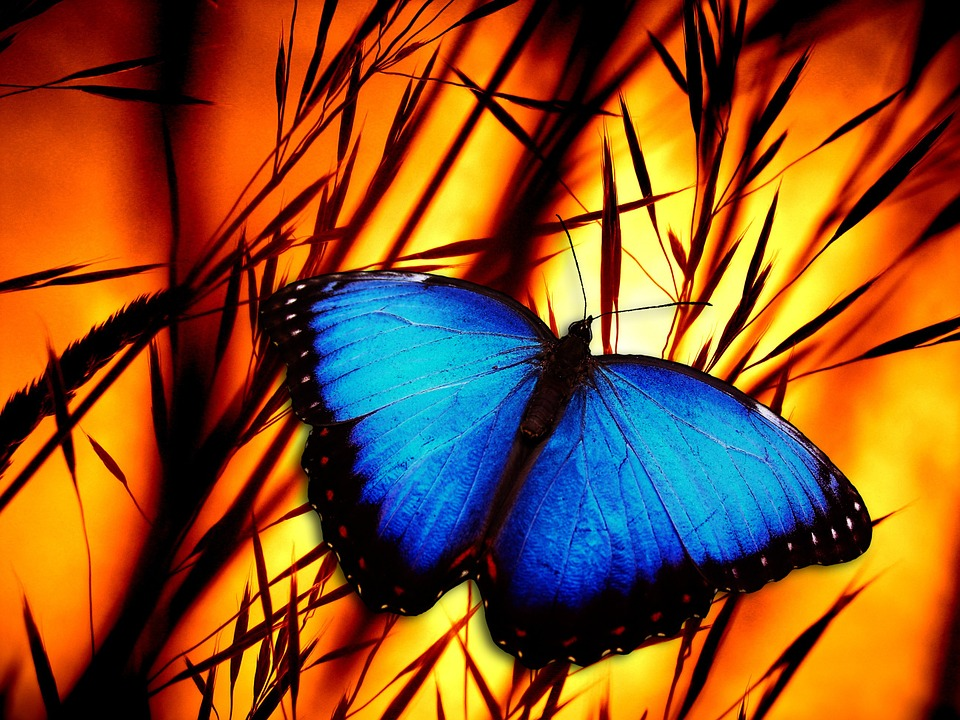 Butterfly, Halme, Meadow, Sunset, Insect