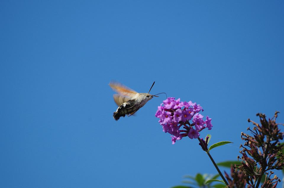 Hummingbird Hawk Moth, Butterfly, Insect, Owls
