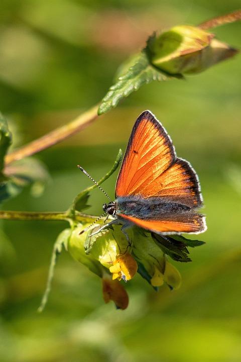 Fire Falter, Butterfly, Butterflies, Insect