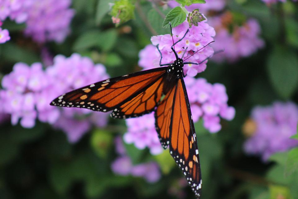 Insect, Butterfly, Monarch Butterfly, Blossom, Spring