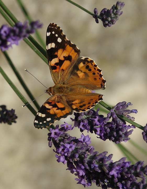 Butterfly, Insect, Nature, Flower