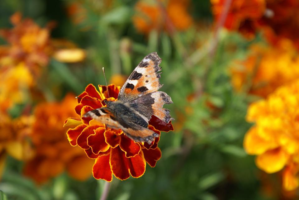 Butterfly, Flower, Nature, Summer, Insect, Closeup