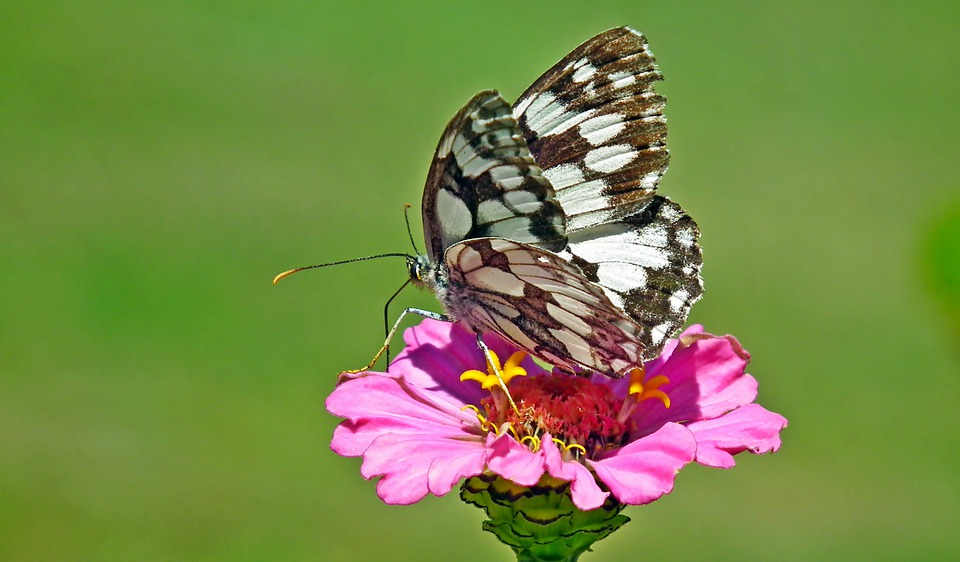 Butterfly, Insect, Bug, Wings, Flower, Zinnia, Nature