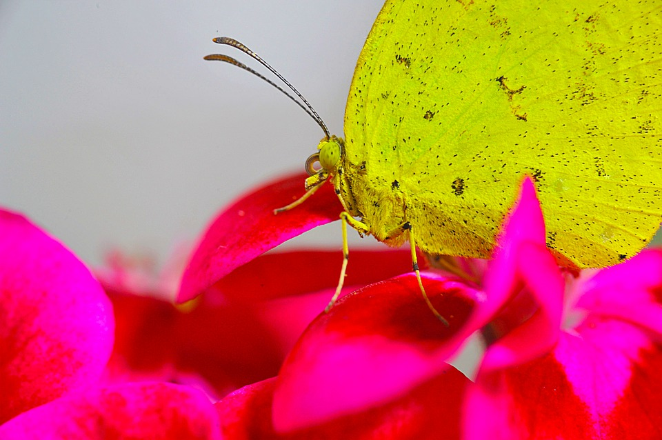 Butterfly, Yellow Butterfly, Affix, Insects