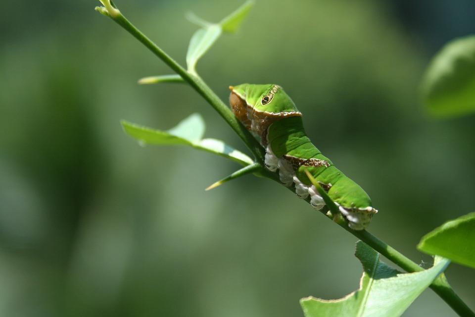 Butterfly, Larva, Lepidoptera, Transformation