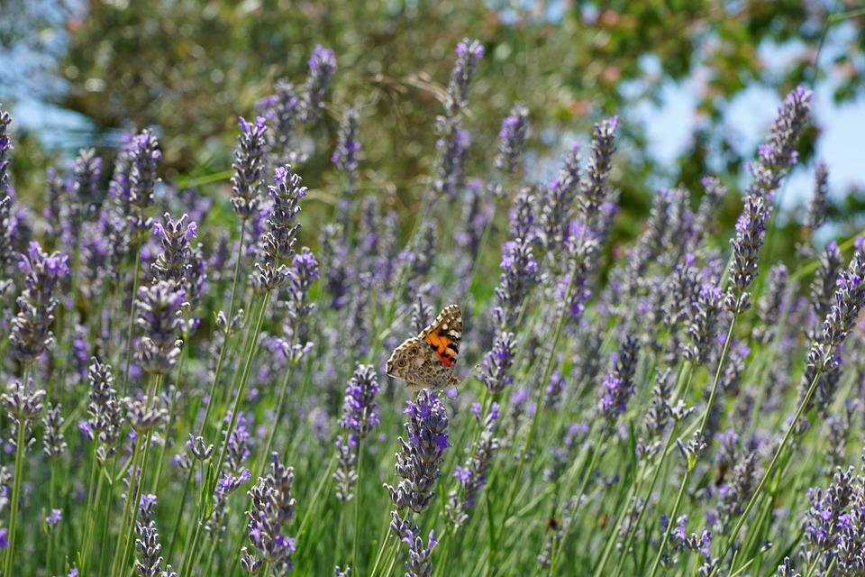 Lavender, Butterfly, Plant