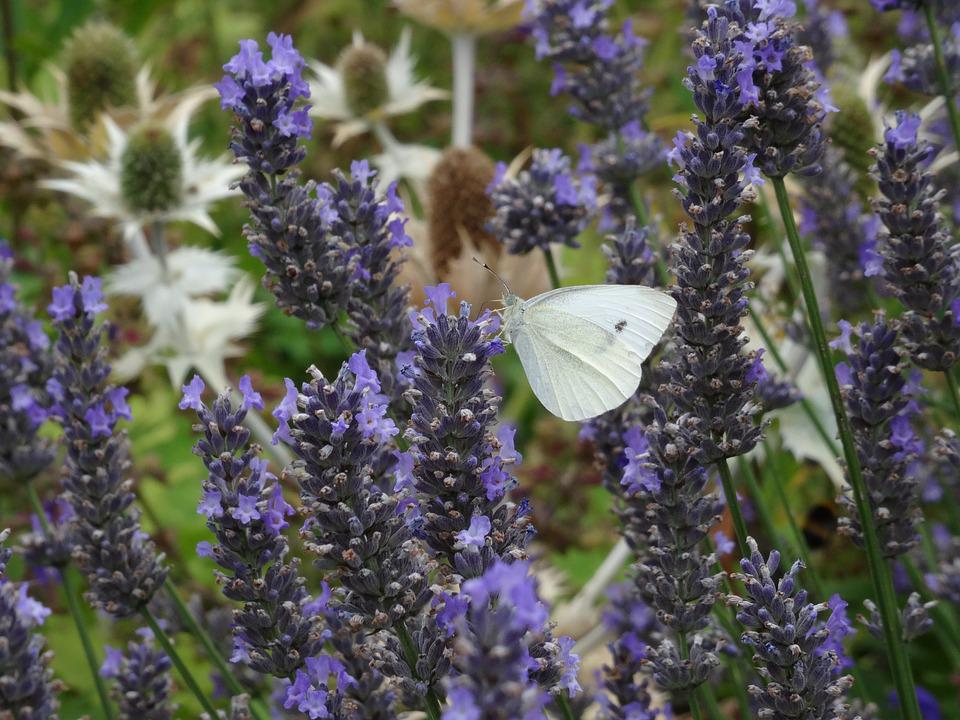 Butterfly, Lavender, Nature, Insect, Purple, Violet