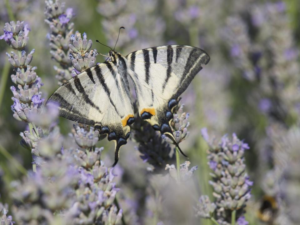 Lavender, Butterfly, Scented Plant