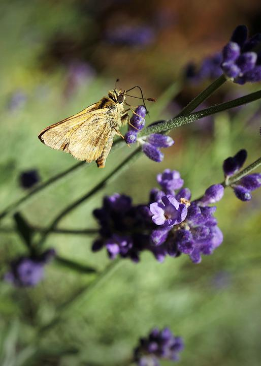 Butterfly, Lavender, Insects, Nature, Wildlife, Summer