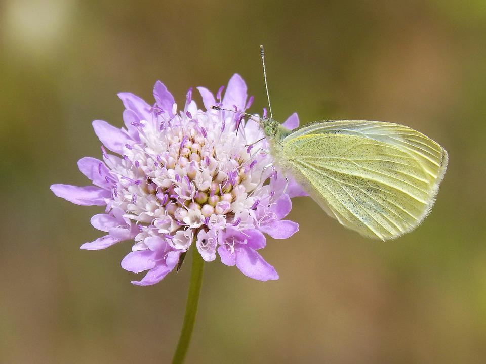 Butterfly, Pieris Rapae, Blanqueta Cabbage, Libar