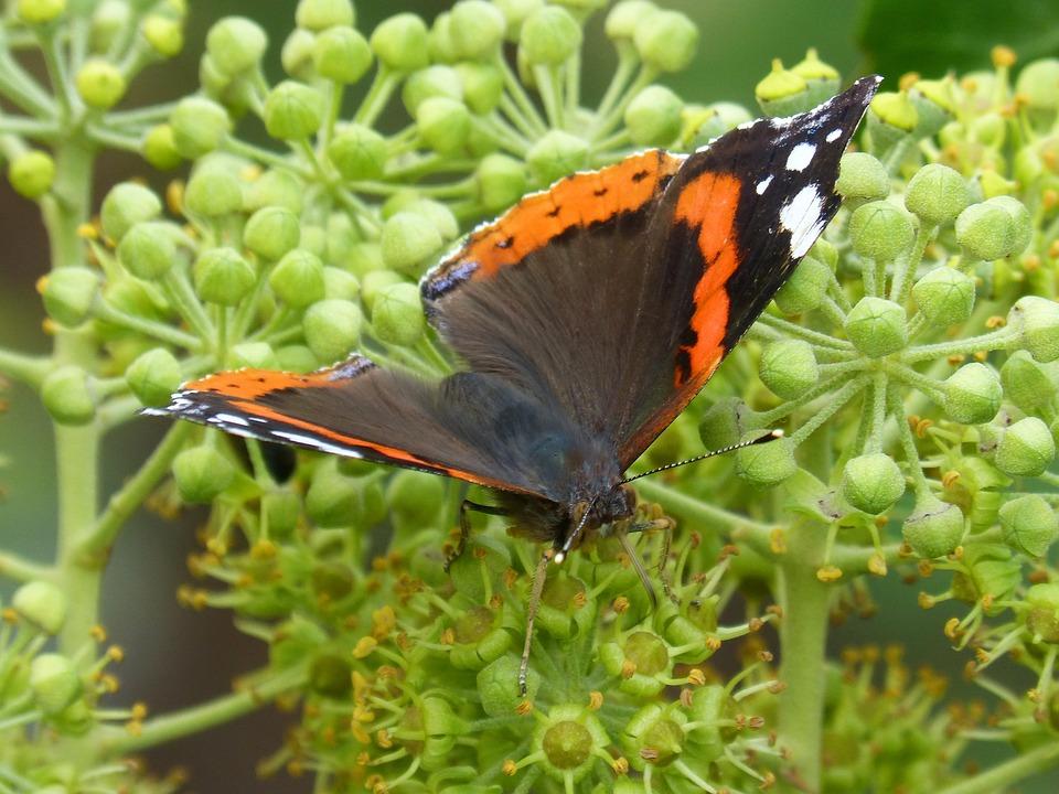 Butterfly, Atalanta, Vanessa Atalanta, Ivy, Libar