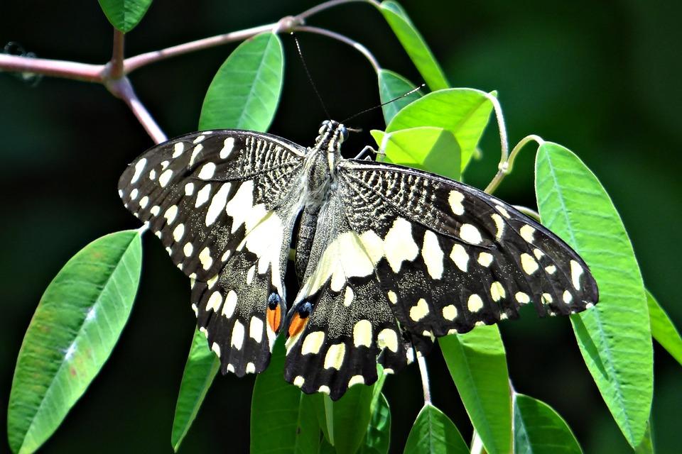 Lime Butterfly, Papilio Demoleus, Butterfly