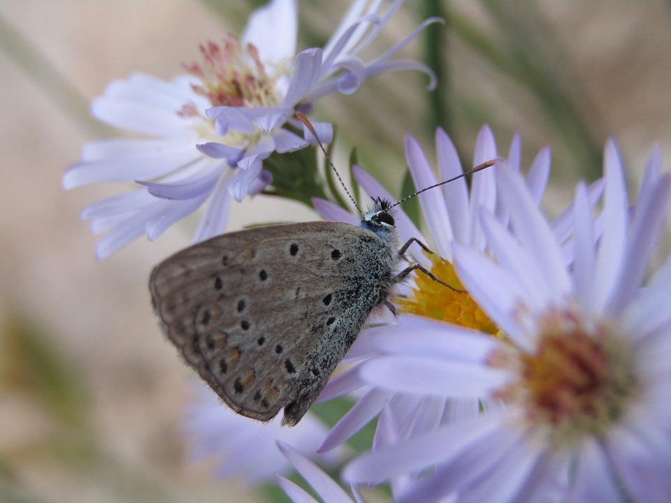 Azure, Butterfly, Blue, Grey, Flowers, Garden, Macro