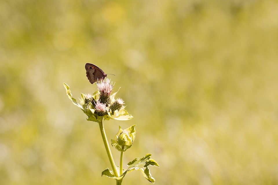 Nature, Butterfly, Meadow Brown, Edelfalter, Animal