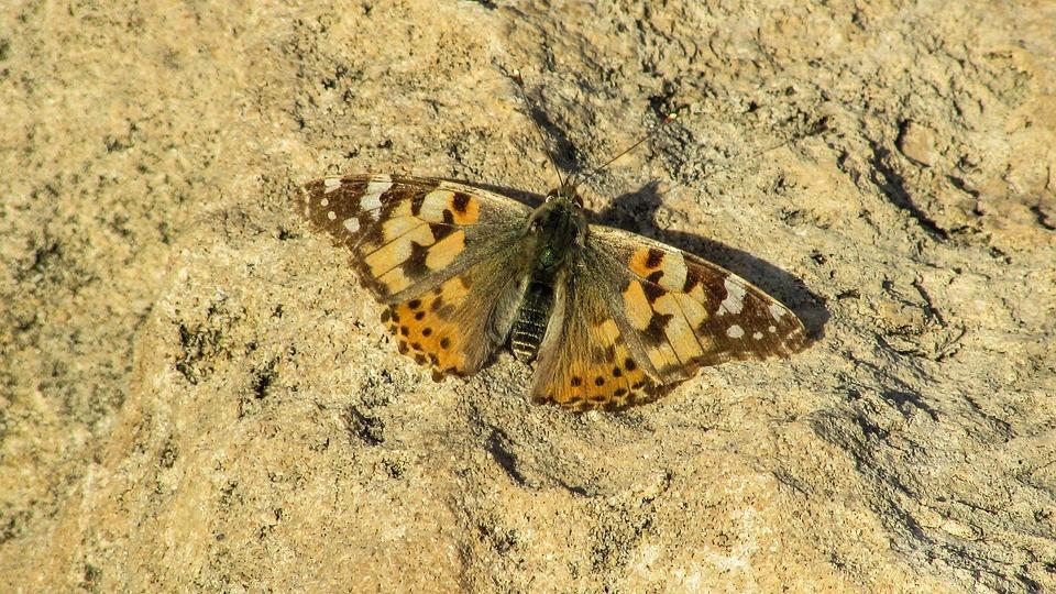 Cyprus, Cavo Greko, National Park, Butterfly