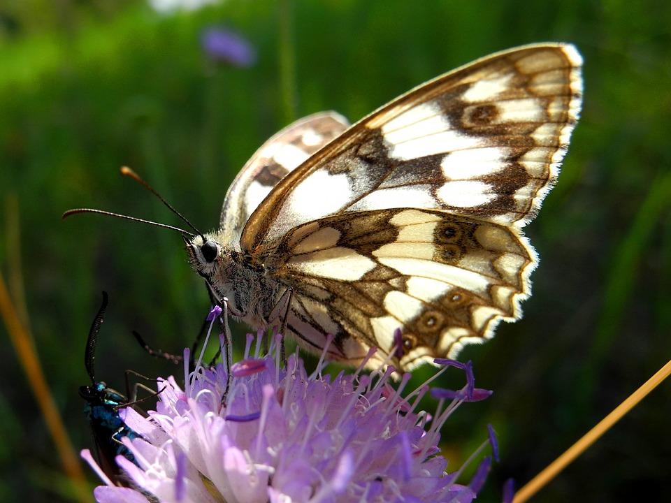 Butterfly, Insect, Babočkovití, Butterfly Wings, Nature