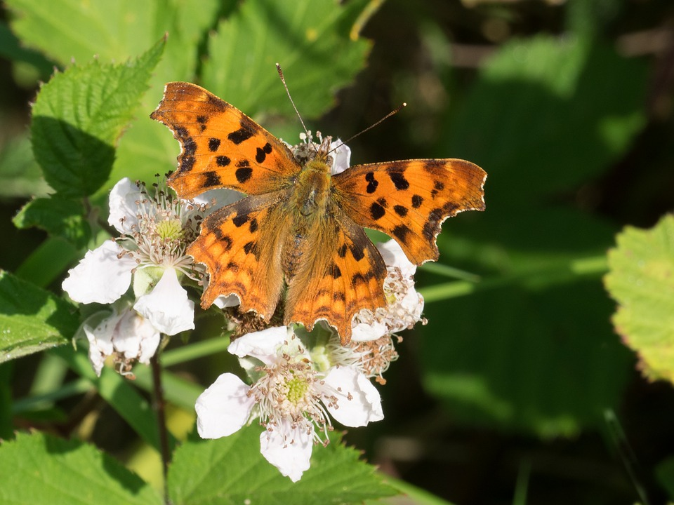 Butterfly, Comma Butterfly, Nature