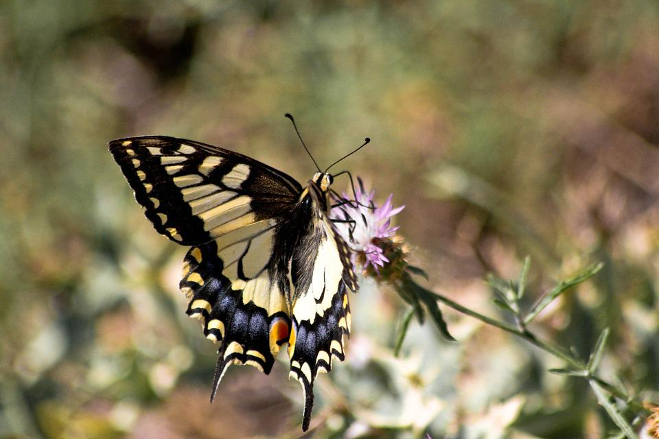 Butterfly, Swallowtail, Insects, Flowers, Nature