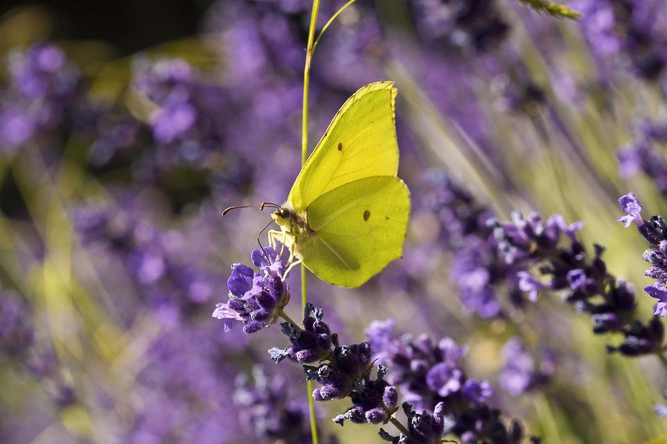 Nature, Butterfly, Insect, Gonepteryx Rhamni, Lavender