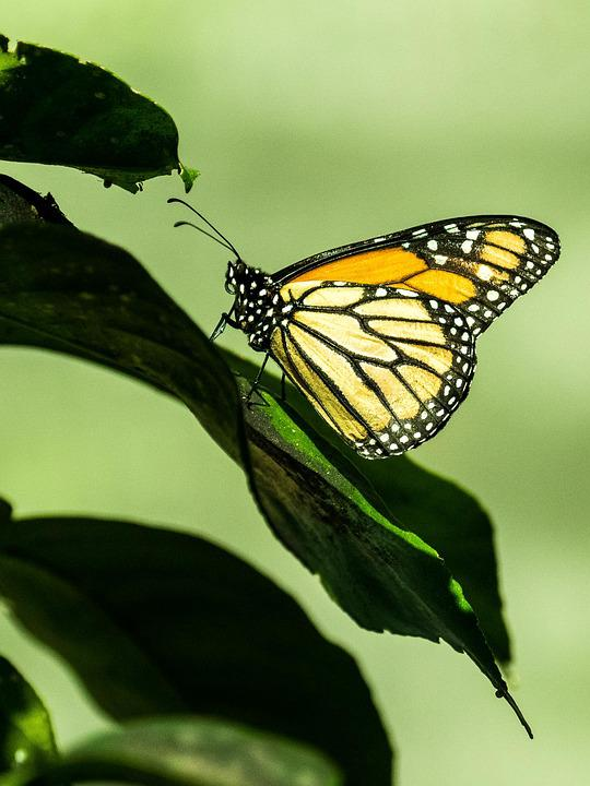Cuba, Havana, Butterfly, Insect, Nature, Wing, Leaf