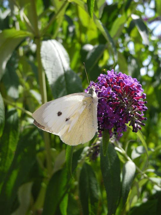 Butterfly, Lilac Purple, Macro, Nature