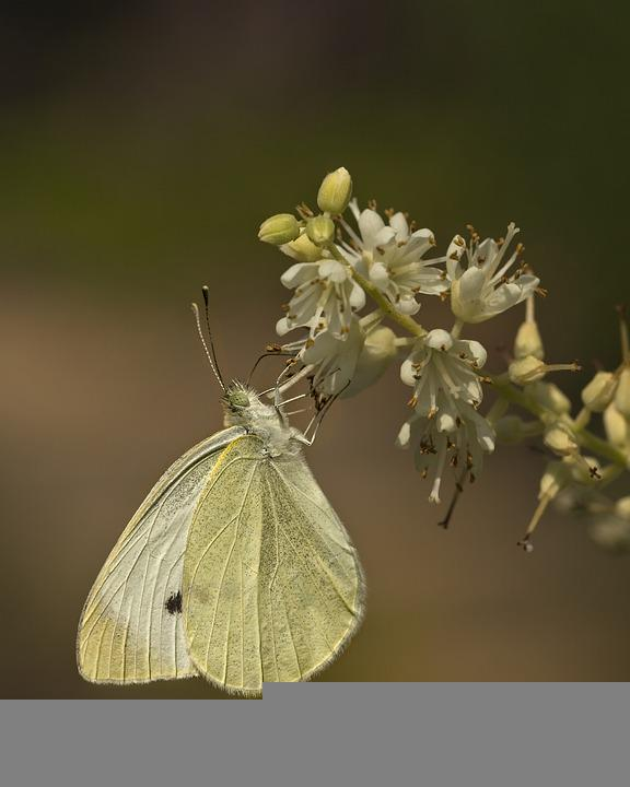 Butterfly, Insect, White, Plant, Flower, Nature