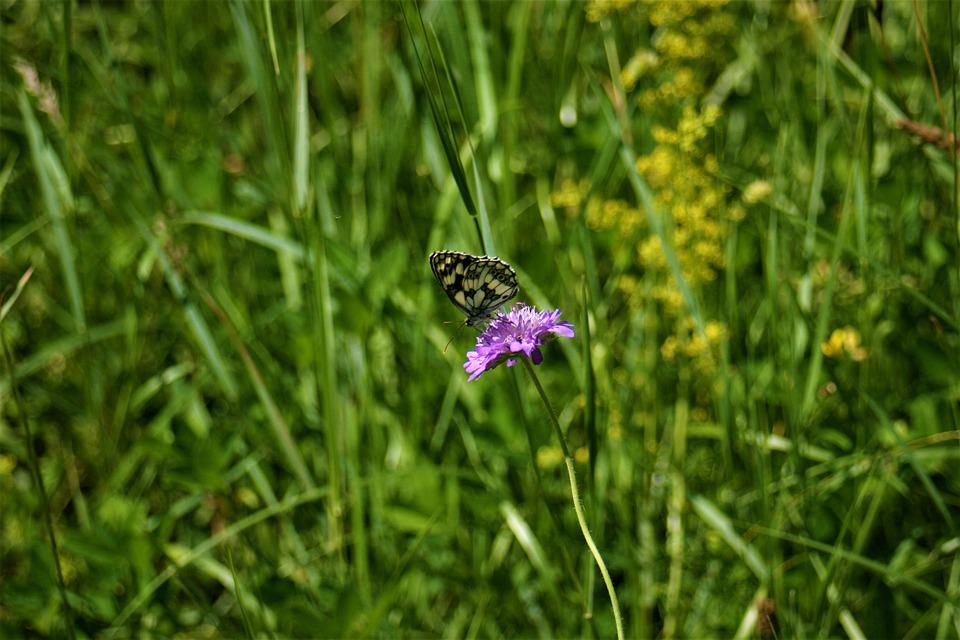 Butterfly Eating, Butterfly, Nectar, Insect, Flower