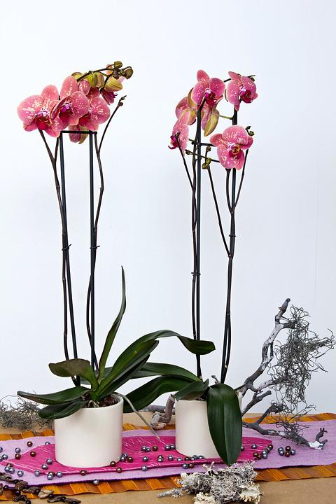 Orchids, Phalaenopsis, Flower, Butterfly Orchid