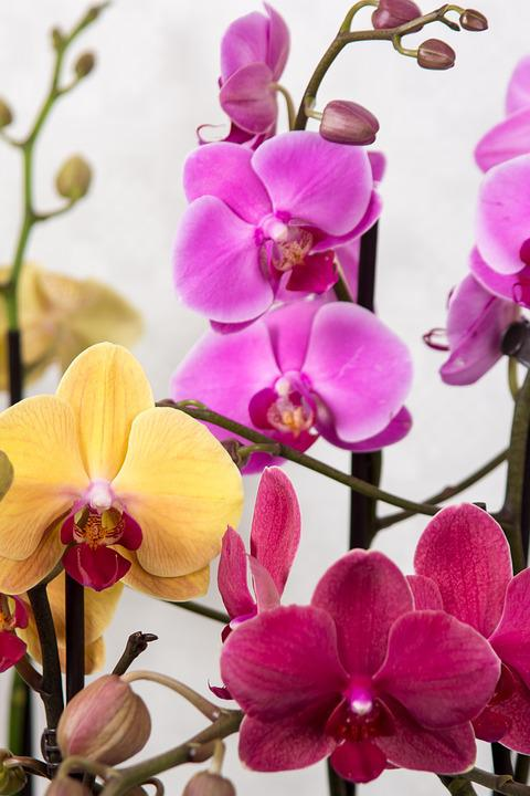 Orchids, Phalaenopsis, Butterfly Orchid, Tropical, Pink