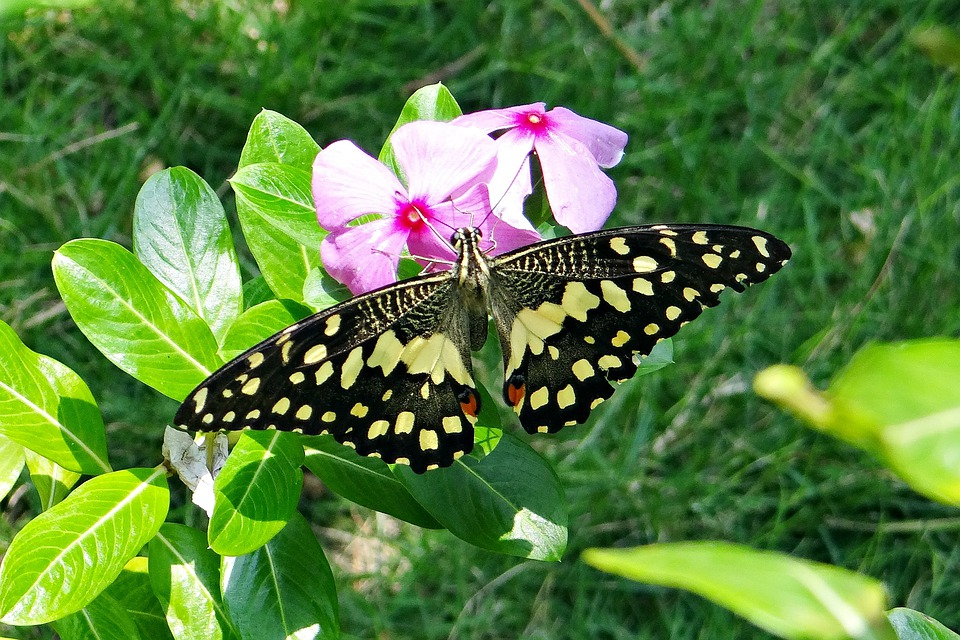 Lime Butterfly, Papilio Demoleus, Butterfly