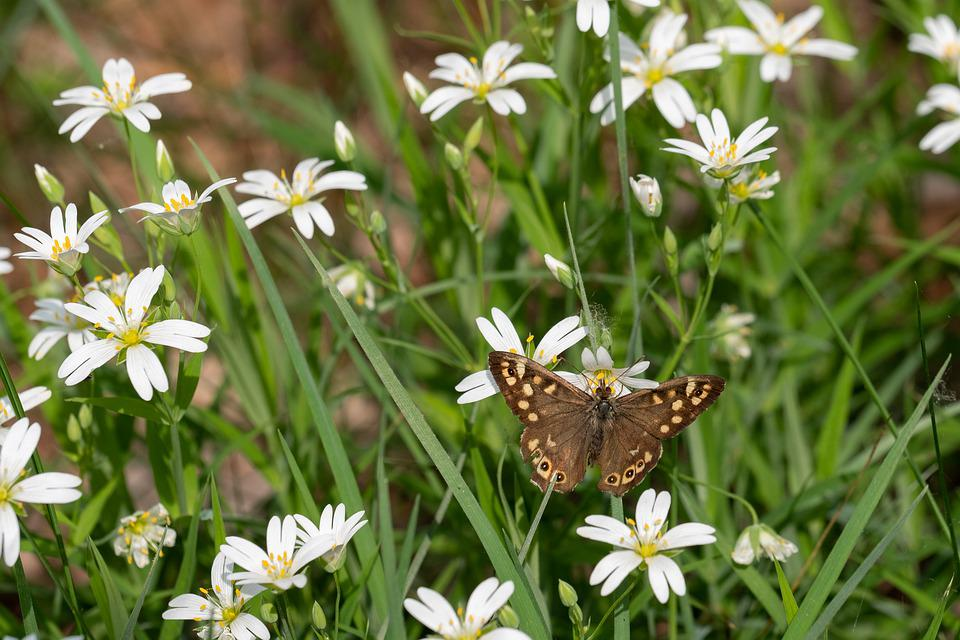 Speckled Wood, Pararge Aegeria, Butterfly, Flowers
