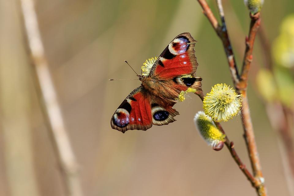 Peacock Butterfly, Butterfly, Age Moths, Butterflies
