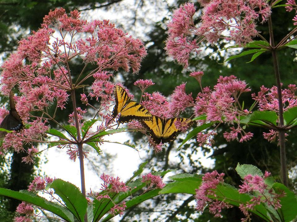 Joe Pye Weed, Butterfly, Flowers, Yellow, Pink