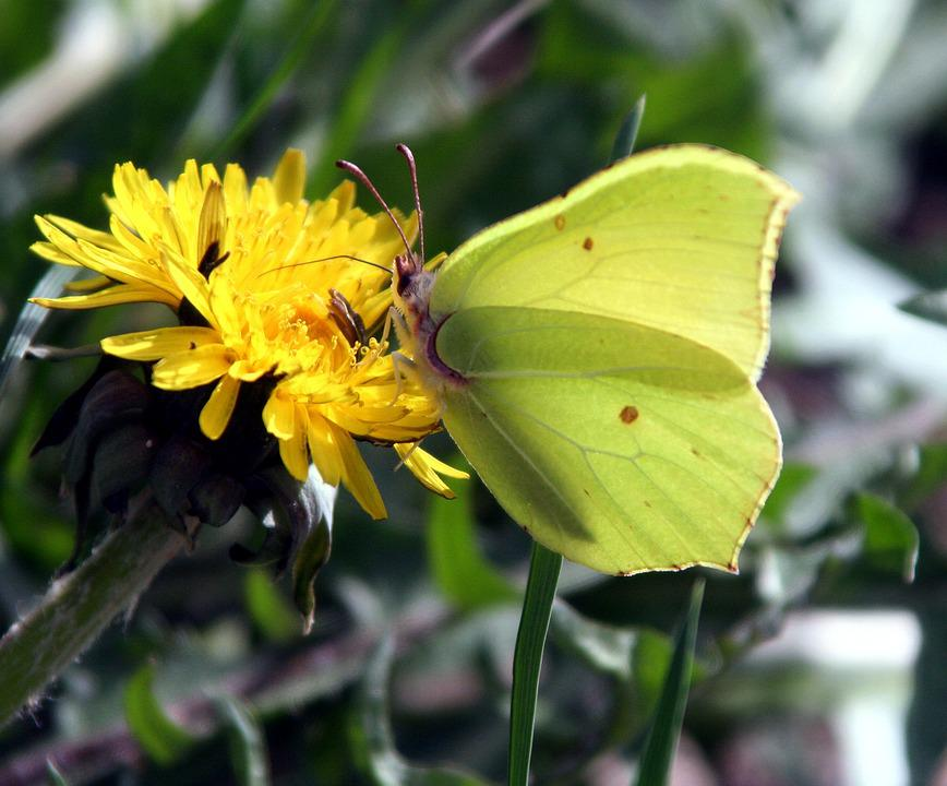 Butterfly, Yellow, Insect, Nature, Flower, Plant