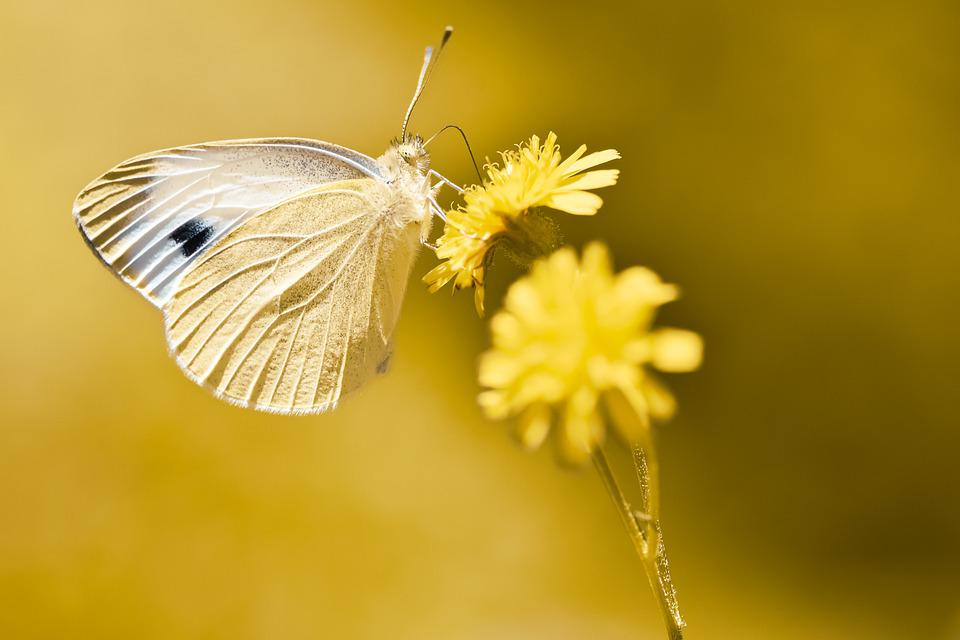 White Ling, Butterfly, Flower, Pollinate, Pollination