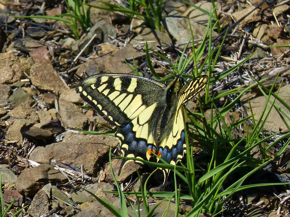 Papilio Machaon, Machaon, Butterfly Queen, Butterfly
