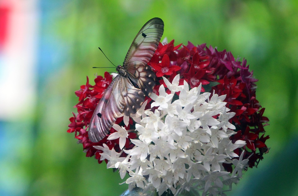Free photo butterfly red flowers spring white flowers flowers max butterfly flowers red flowers white flowers spring mightylinksfo