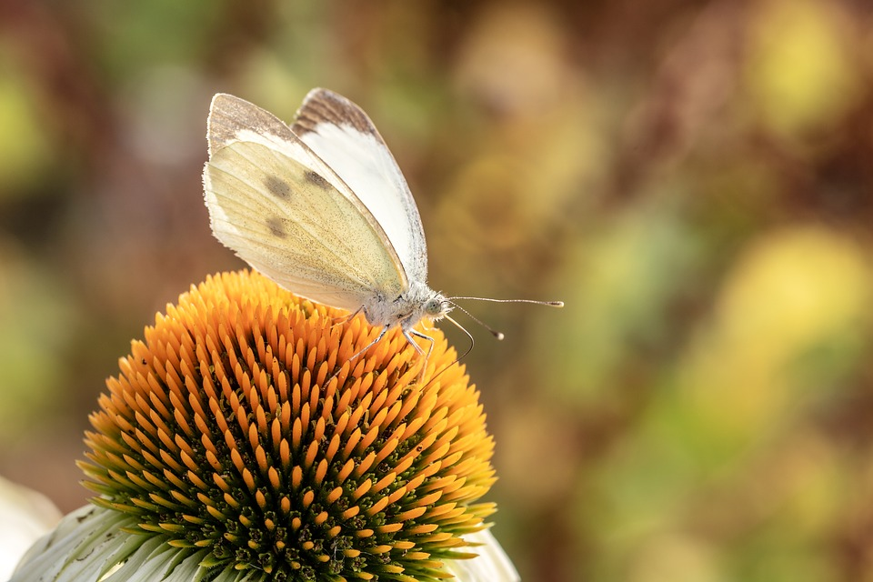 Butterfly, White Ling, Small Cabbage White Ling