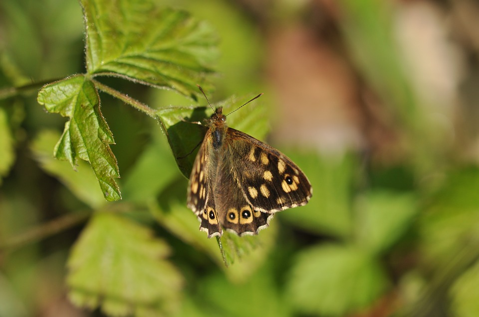 Butterfly, Speckled Wood, Bug, Antennas, Nature, Spring
