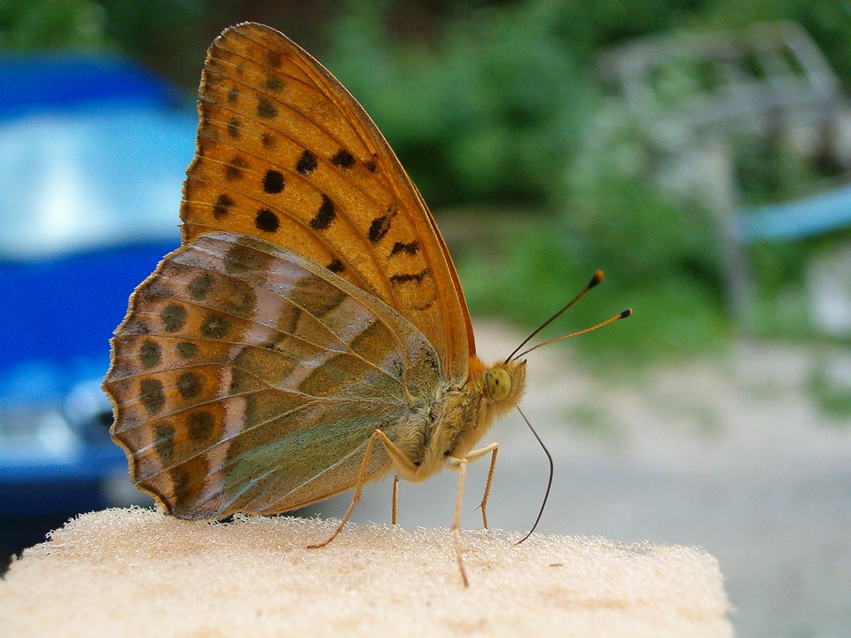 Butterfly, Animal, At, Animals, Nature, Insect, Summer