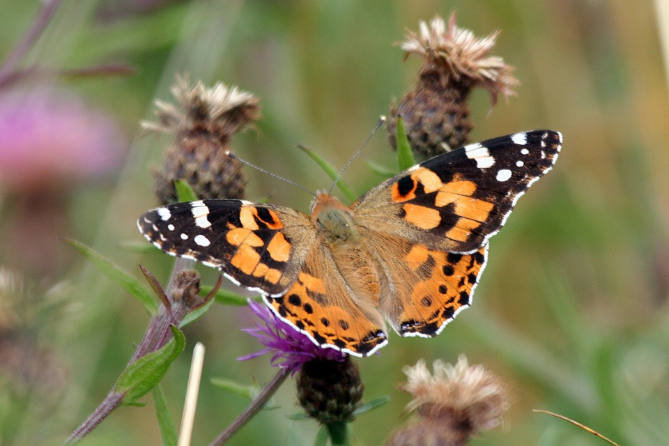 Painted-lady, Butterfly, Insect, Nature, Color, Summer