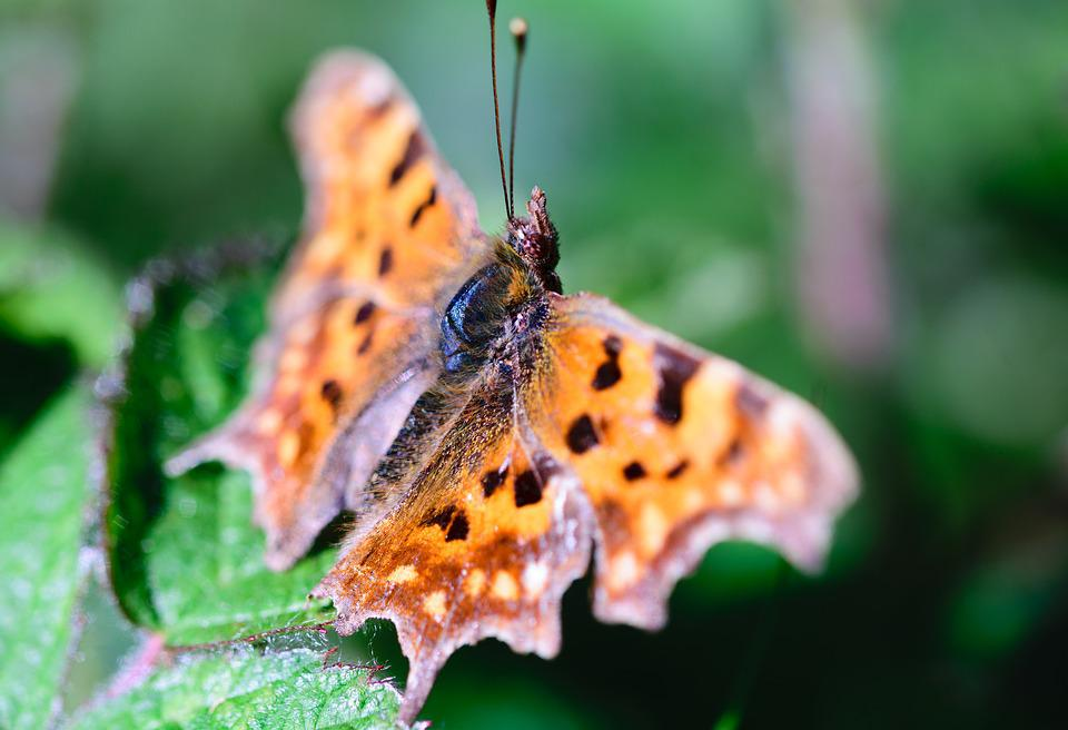 Butterfly, Insect, Nature, Wings, Summer, Macro, Orange